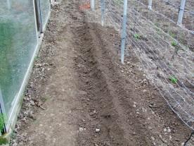 7- También se pueden plantar clavándolas en la tierra unos 2 cm.