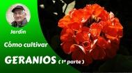 Cómo cultivar hermosos geranios – Primeraparte