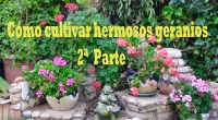 Cómo cultivar hermoso geranios, 2ªparte
