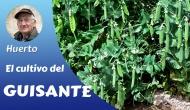 El cultivo del Guisante y elBisalto
