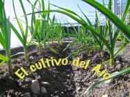 El cultivo delAjo