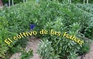 El cultivo de lashabas