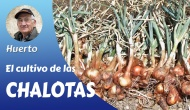 El cultivo de la Chalota,Echalotte oAscalonia