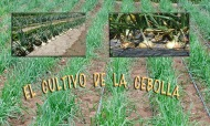 El cultivo de lacebolla