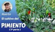 El cultivo del pimiento 2ªparte