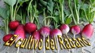 El cultivo delRábano