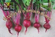 El cultivo de la remolacha demesa