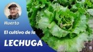 El cultivo de lalechuga