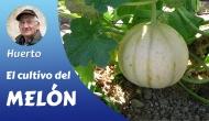 El cultivo delmelón