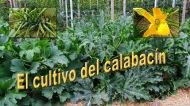 El cultivo delcalabacín