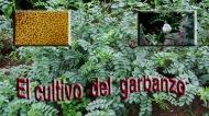 El cultivo del garbanzo en el huertofamiliar