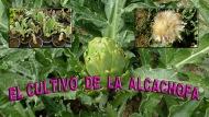 El cultivo de laalcachofa