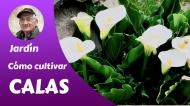Cómo cultivar lasCalas