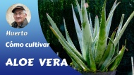 Aloe vera, su cultivo en el huertofamiliar