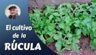 El cultivo de larúcula