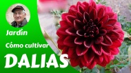 Cómo cultivar dalias