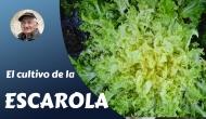 El cultivo de laescarola