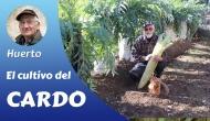 El cultivo delcardo