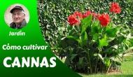 Cómo cultivar Cannas- Guíacompleta